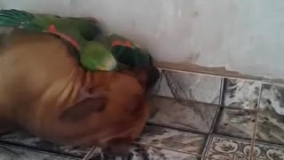 A Dog and Parrot Play - Video