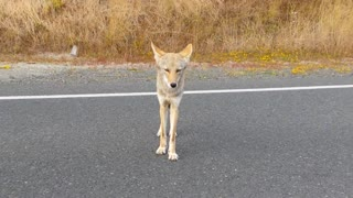 Coyote Hitchhiker - Video