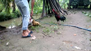 cockfighting gamechicken - Video