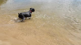Dog going swimming underwater for stick  - Video