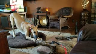 Pushy Great Dane wants the couch  - Video