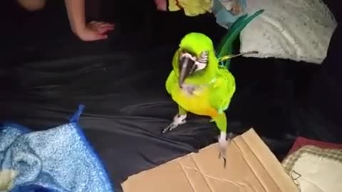 macaw loves to play in tent