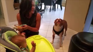 Boston Terrier Entertains Baby By Singing Peekaboo