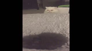 Weird White Cat Spies On Brown Cat - Video