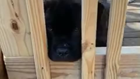 Cane corso puppy thinks the gate is no fun