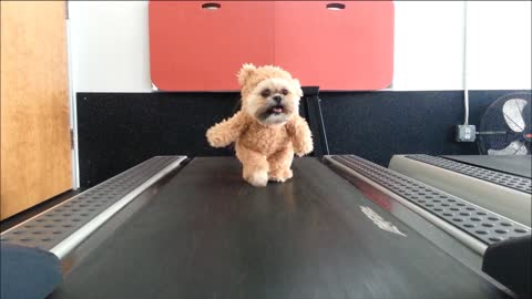 Munchkin The Teddy Bear Dog Loves Working Out On The Treadmill