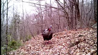 Wild turkey seems annoyed with camera on his morning walking trail