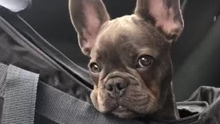 French Bulldog Delivers Adorable Puppy Eyes - Video