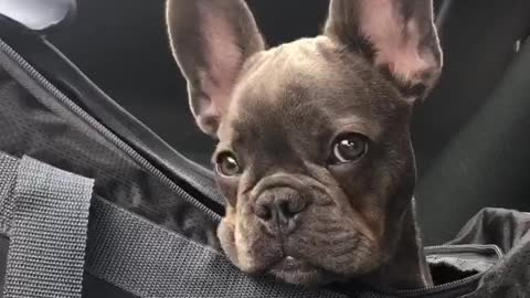 French Bulldog delivers adorable puppy eyes