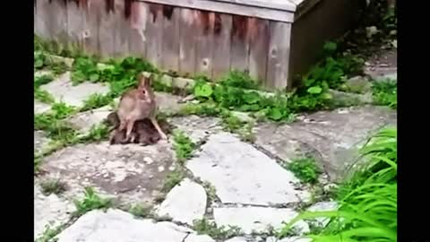 Mother bunny nurses her babies in the most adorable way