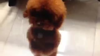 Little dog is dancing - Video