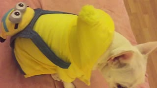French Bulldog shows off his new 'Minions' backpack - Video