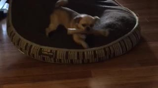Little dog steals German shepherds bone - Video