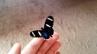 Amazing Blue Butterfly - Video