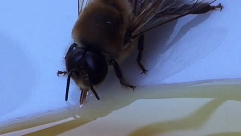 Man saves exhausted bee by serving it honey