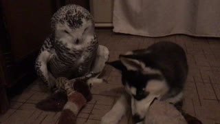 Owl and Husky  - Video