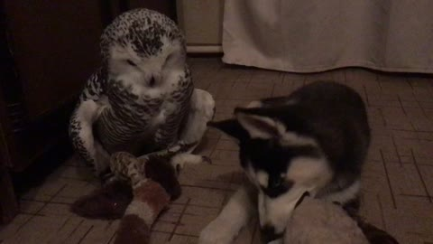 Owl and Husky