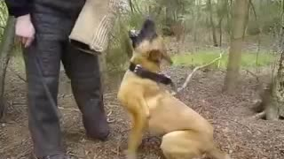 Schutzhund training: bark and hold - Video