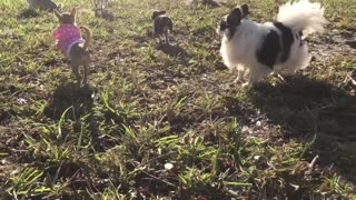 Chihuahua puppy can't run without barking - Video