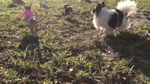 Chihuahua puppy can't run without barking