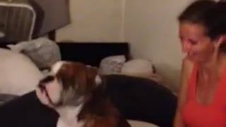 Talented English Bulldog Dances At The Foot Of The Bed Together With Owner - Video