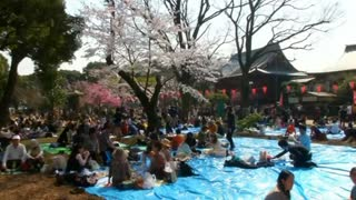 Cherry blossoms in full bloom in Tokyo - Video