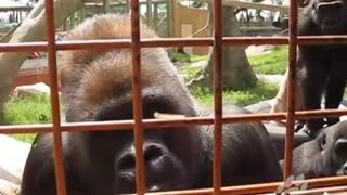 The Calgary Zoo's gorillas entertained by caterpillar - Video