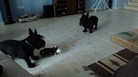 Scottish Terriers don't trust laughing toy monkey