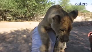 Lion Sees An Old Friend, Jumps Into His Arms To Say Hi  - Video