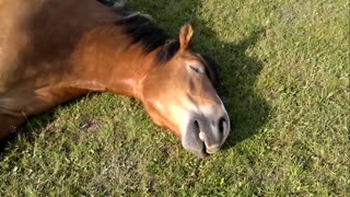 Sleeping Horse Caught Snoring Loudly - Video