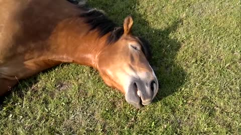Sleeping Horse Caught Snoring Loudly