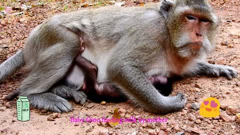 The baby monkey seem very hungry and want to drinking more milk