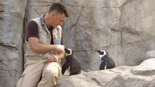 African penguins bond with San Diego Zoo staff - Video