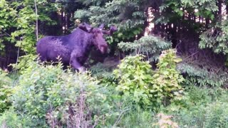 Cyclist has dangerously close encounter with bull moose