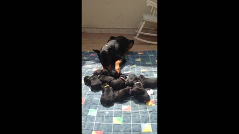 Male Doberman takes on mother role for his litter
