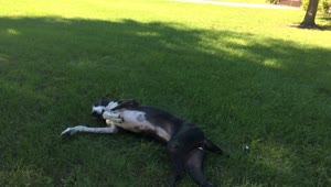 Katie the Great Dane rolls around - Video