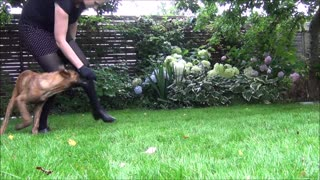 Hollandse Herder Inuk 8 weeks to 4 months old- Starting tricks and obedience - Video