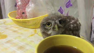 Owl Loves Tea