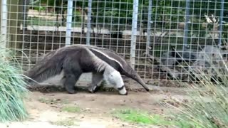 Giant anteater at the zoo