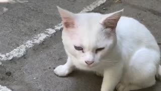 Cute white cat in Kyrgyzstan
