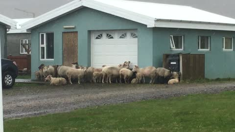 Wild Icelandic sheep take shelter from a storm