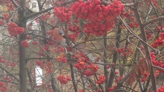 Ashberry and birds