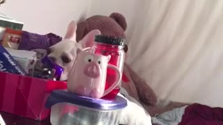 Hidden camera reveals French Bulldog's love for Nutella - Video