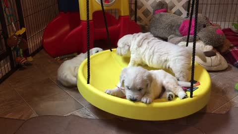 Golden Retriever puppies play on new swing toy