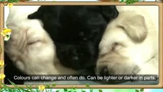 Labrador Retriever puppies - Video