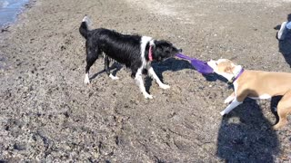 Dogs enjoy epic game of Tug of War - Video