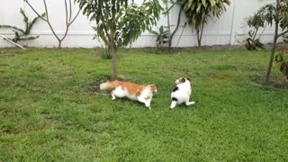 Puppy tries to get cat to chase him, instantly regrets it