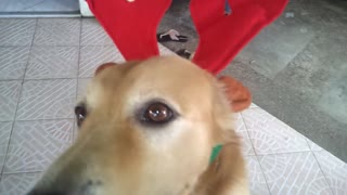 Dog models reindeer Christmas costume