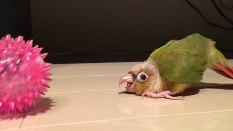 Angry parrot