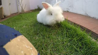Cute and curious Angora rabbit